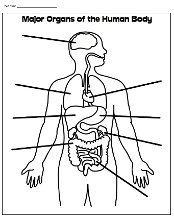 Worksheet The Human Body Worksheets printable human body worksheet to view the entire collection visit our worksheets page label major organs