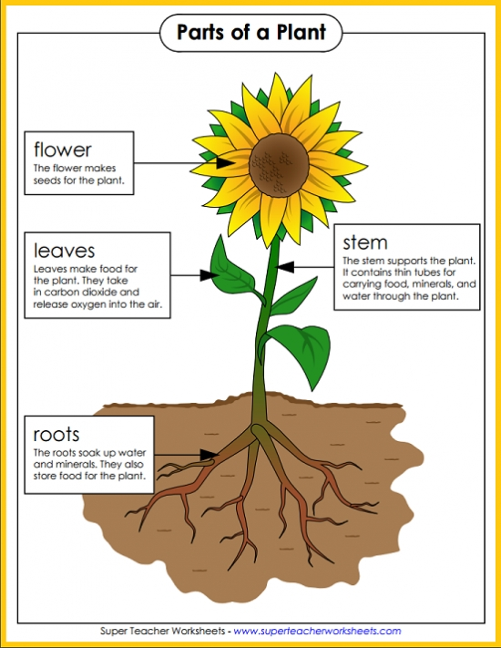 Parts of a Plant Poster – Parts of a Plant Worksheet